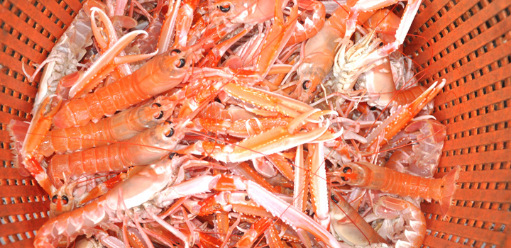 Scottish Langoustine